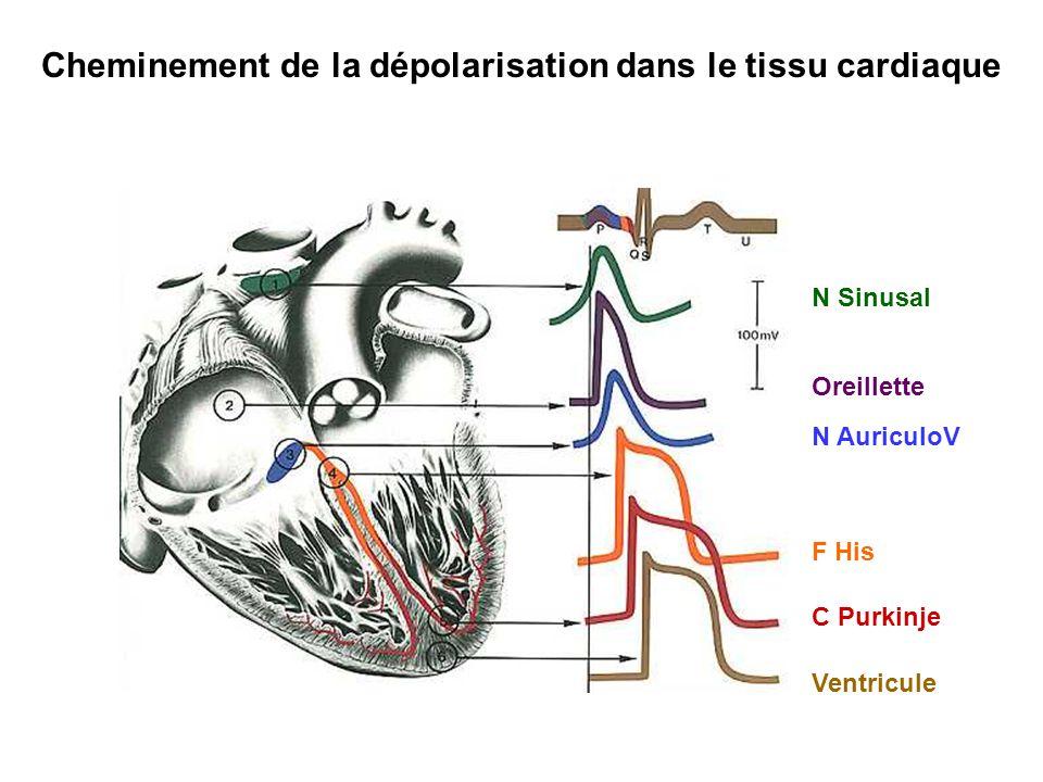 Cheminement de la dépolarisation dans le tissu cardiaque