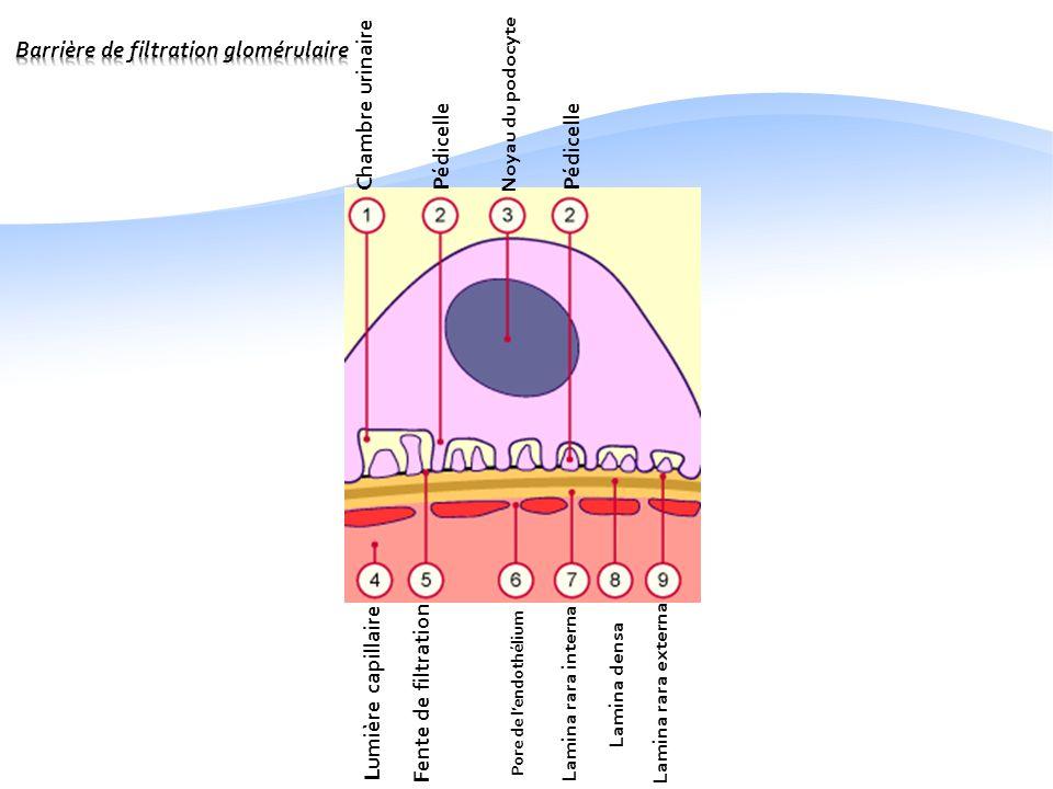Histologie de l appareil urinaire ppt video online for Chambre urinaire
