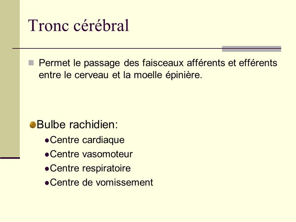 Tronc cérébral Bulbe rachidien: