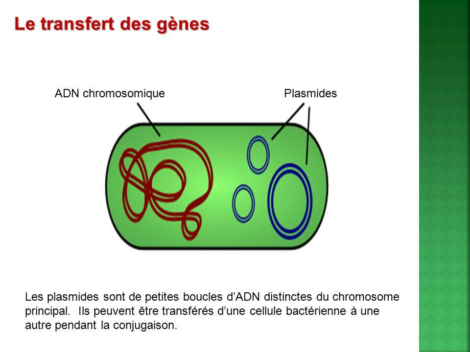 Le transfert des gènes ADN chromosomique Plasmides