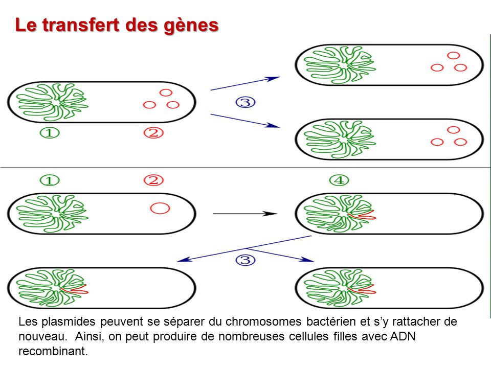 Le transfert des gènes