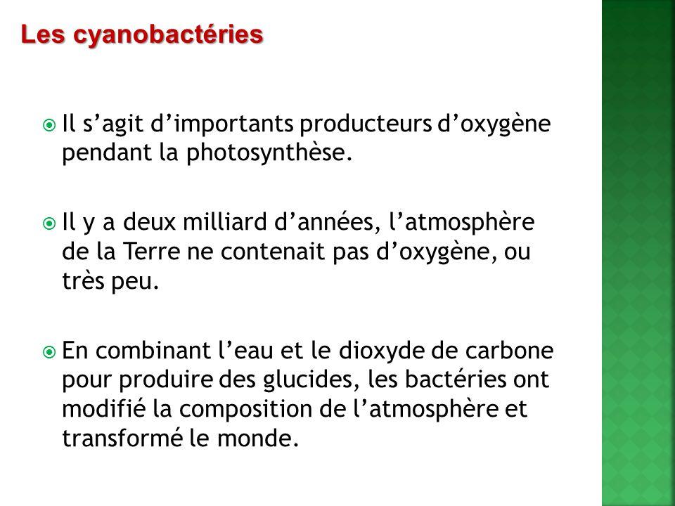 Les cyanobactéries Il s'agit d'importants producteurs d'oxygène pendant la photosynthèse.