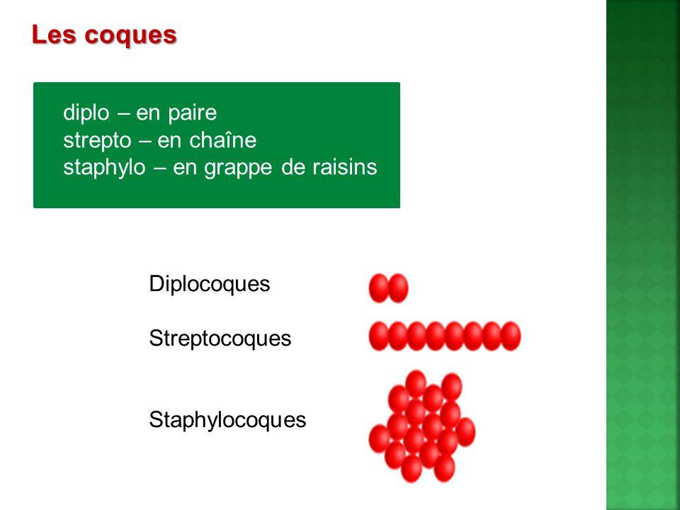 Les coques diplo – en paire strepto – en chaîne