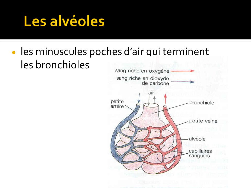 Les alvéoles les minuscules poches d'air qui terminent les bronchioles