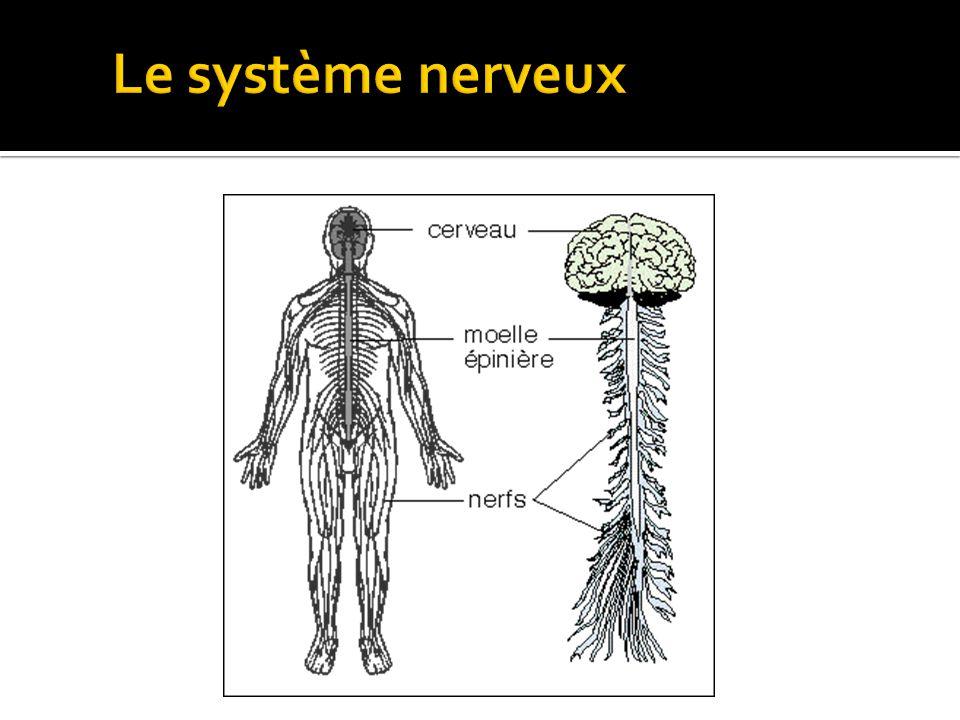 Amanda Tiessen 2011 Le système nerveux
