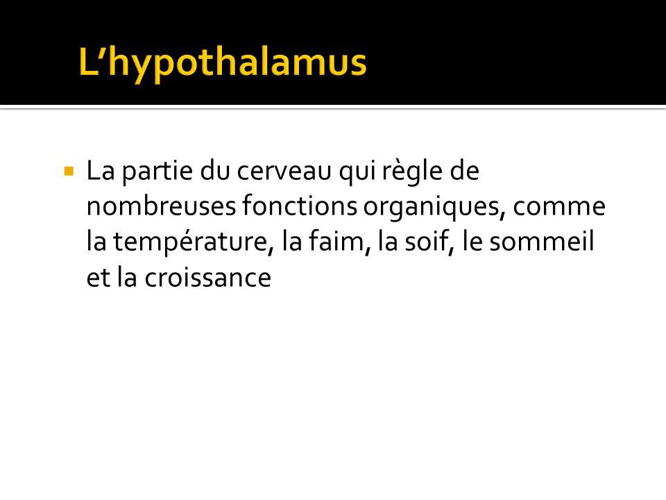 Amanda Tiessen 2011 L'hypothalamus.