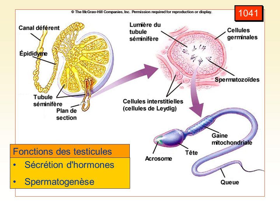 1041 Fonctions des testicules Sécrétion d hormones Spermatogenèse
