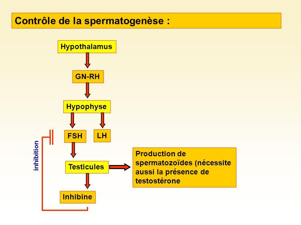 Contrôle de la spermatogenèse :