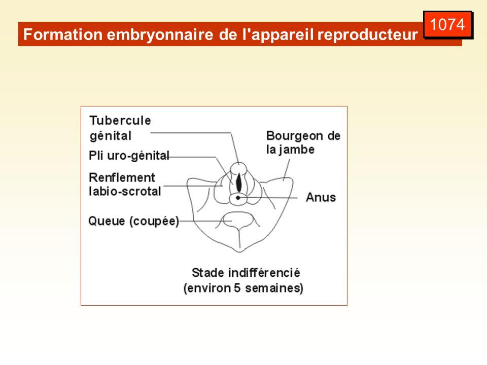 1074 Formation embryonnaire de l appareil reproducteur