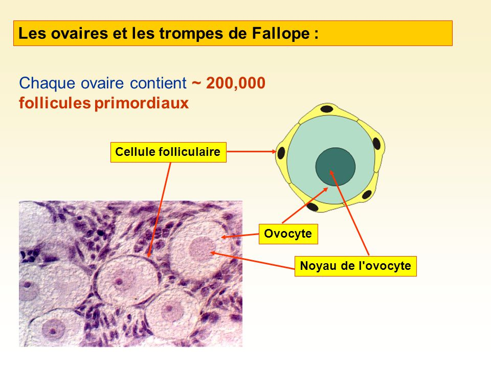 Les ovaires et les trompes de Fallope :