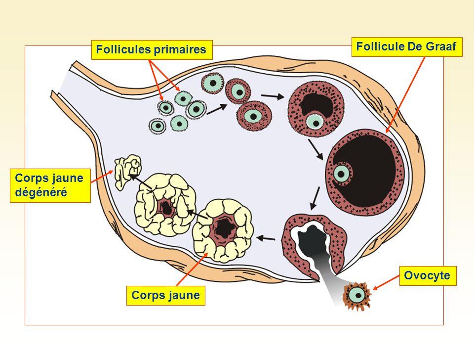 Follicules primaires Follicule De Graaf Corps jaune dégénéré Corps jaune Ovocyte