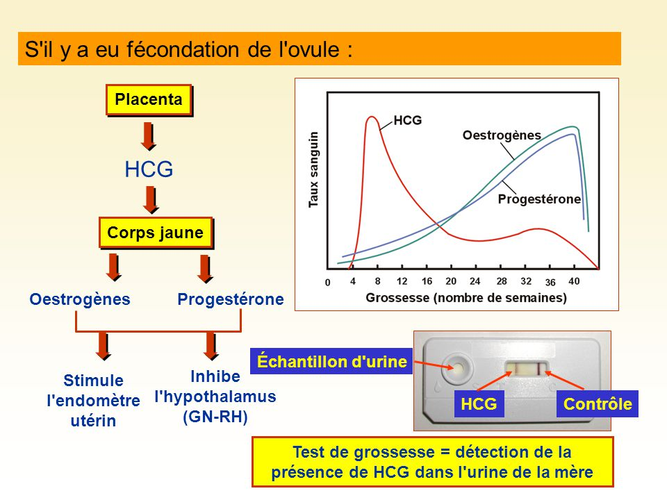 Stimule l endomètre utérin Inhibe l hypothalamus (GN-RH)