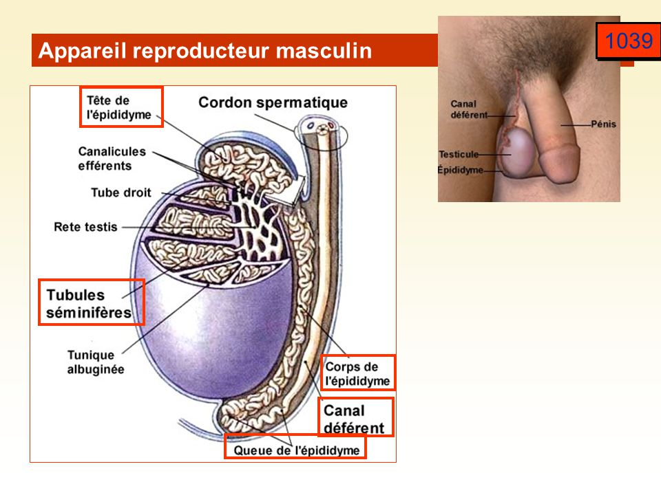 1039 Appareil reproducteur masculin