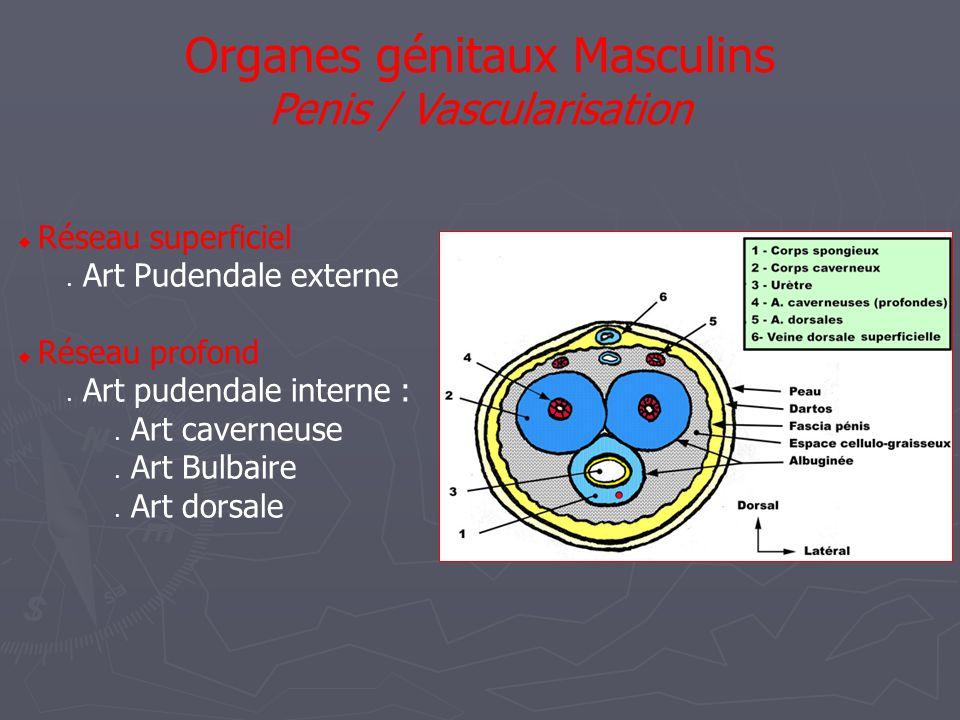 Organes génitaux Masculins