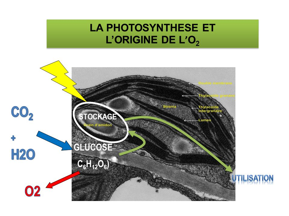 CO2 + H2O O2 LA PHOTOSYNTHESE ET L'ORIGINE DE L'O2 GLUCOSE C6H12O6)