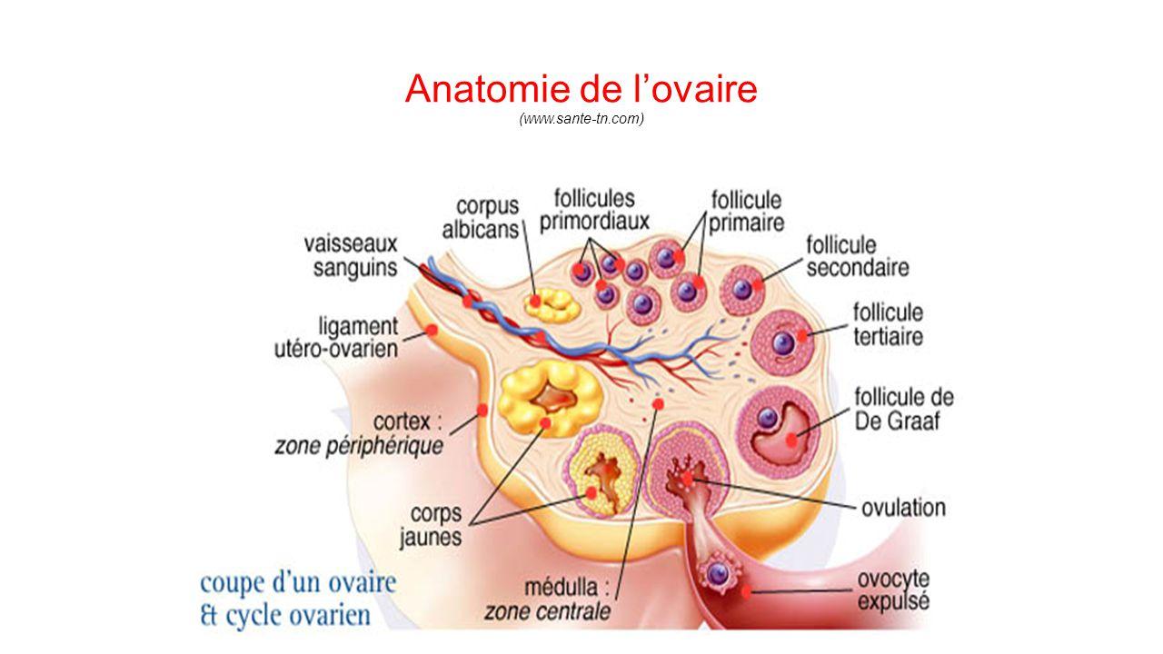 Groß Anatomie Des Ovars Galerie - Anatomie Von Menschlichen ...