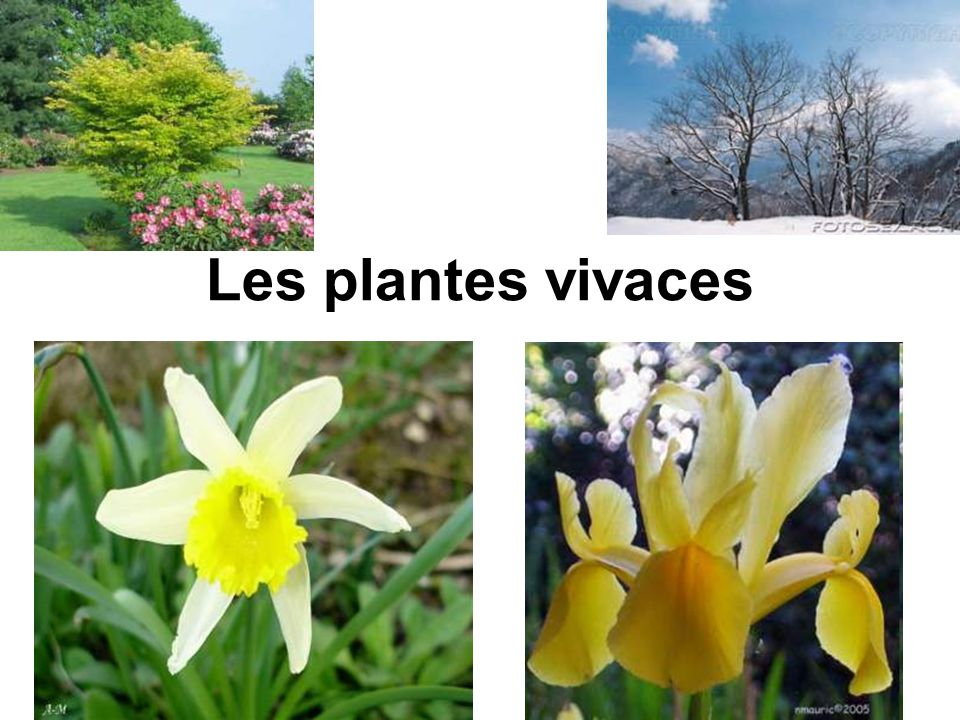Les plantes vivaces ppt video online t l charger for Les plantes vivaces