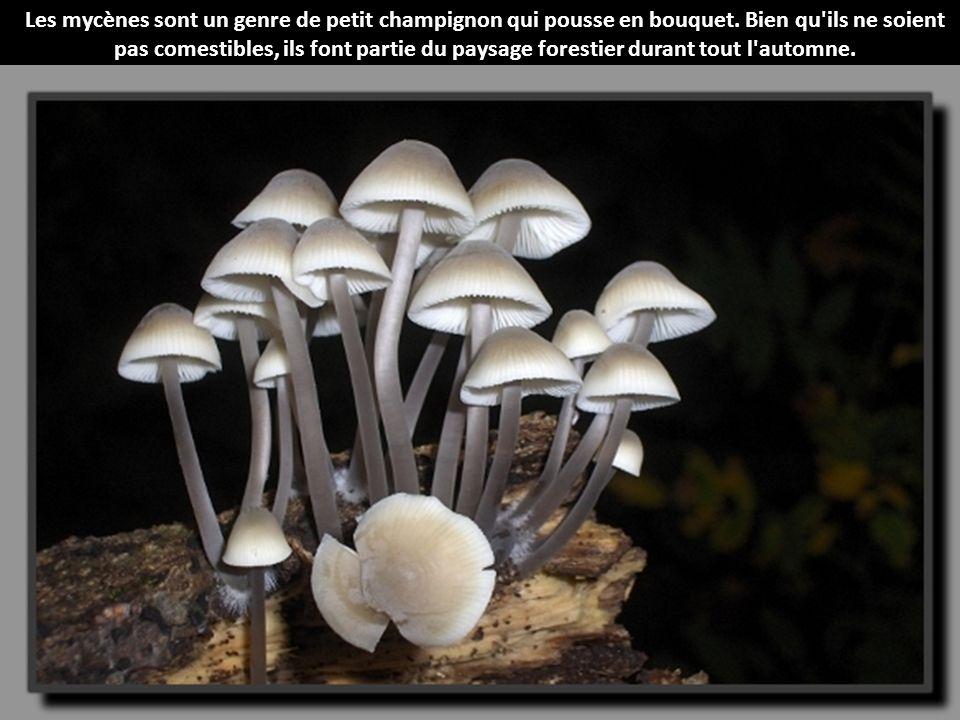 Les dr les de champignons de l 39 automne ppt video online t l charger - Les champignons de jardin sont ils comestibles ...