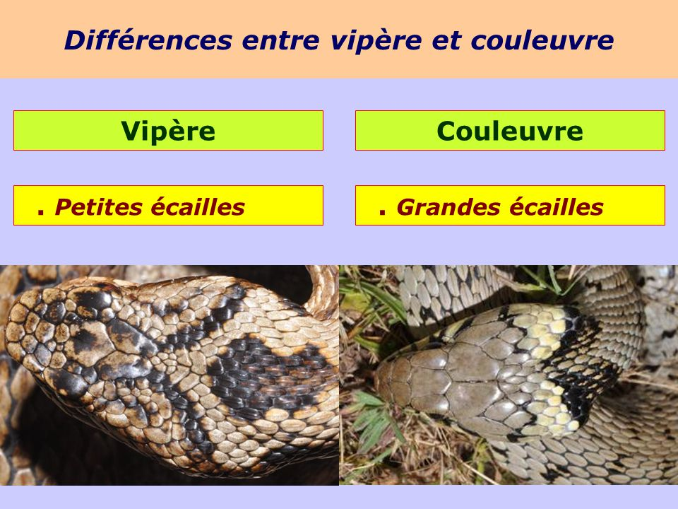 Les reptiles 5kna productions ppt video online t l charger - Difference entre convecteur et radiateur ...