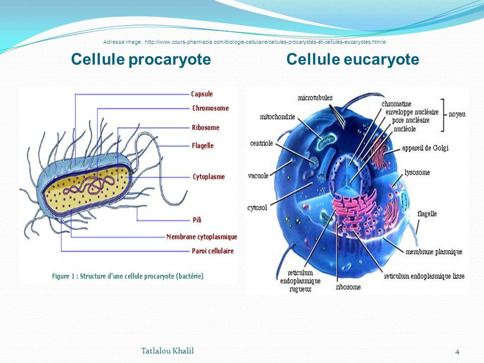 l u2019organisation cellulaire