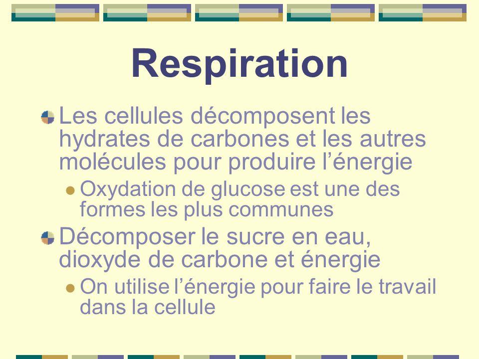 Respiration Les cellules décomposent les hydrates de carbones et les autres molécules pour produire l'énergie.