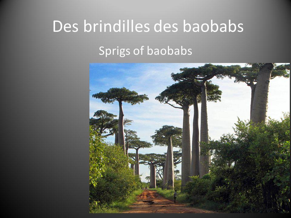 Des brindilles des baobabs