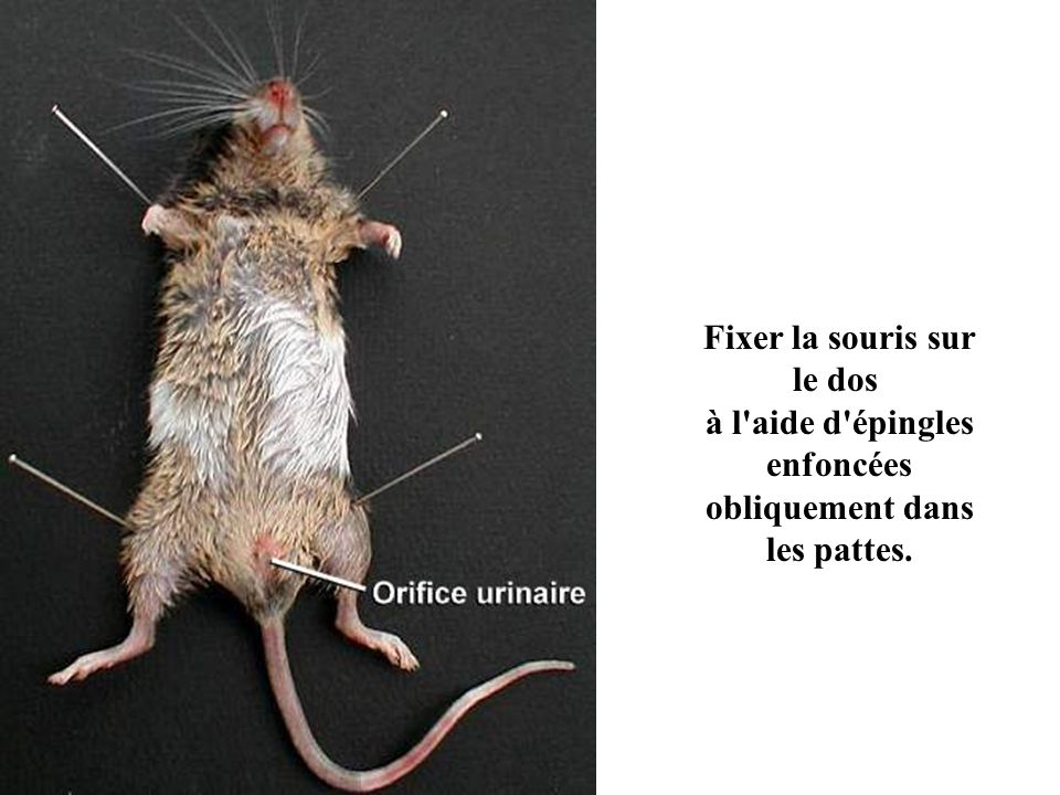 Fixer la souris sur le dos à l aide d épingles enfoncées obliquement dans les pattes.