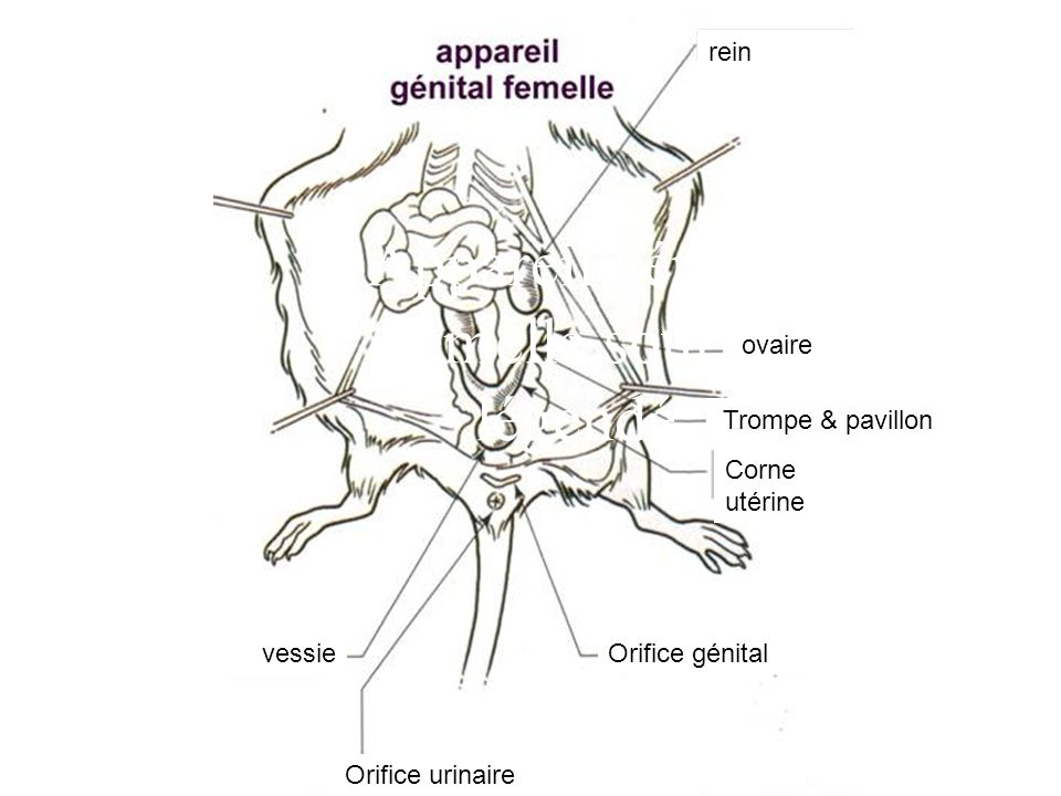 Appareil génital femelle souris légendé