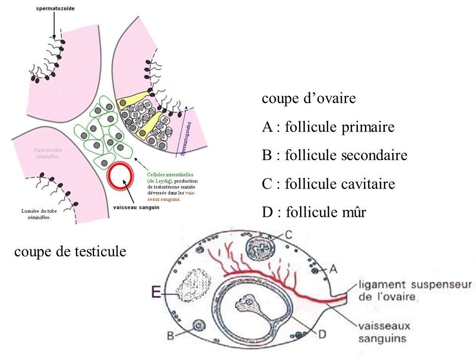 coupe d'ovaire A : follicule primaire. B : follicule secondaire. C : follicule cavitaire. D : follicule mûr.
