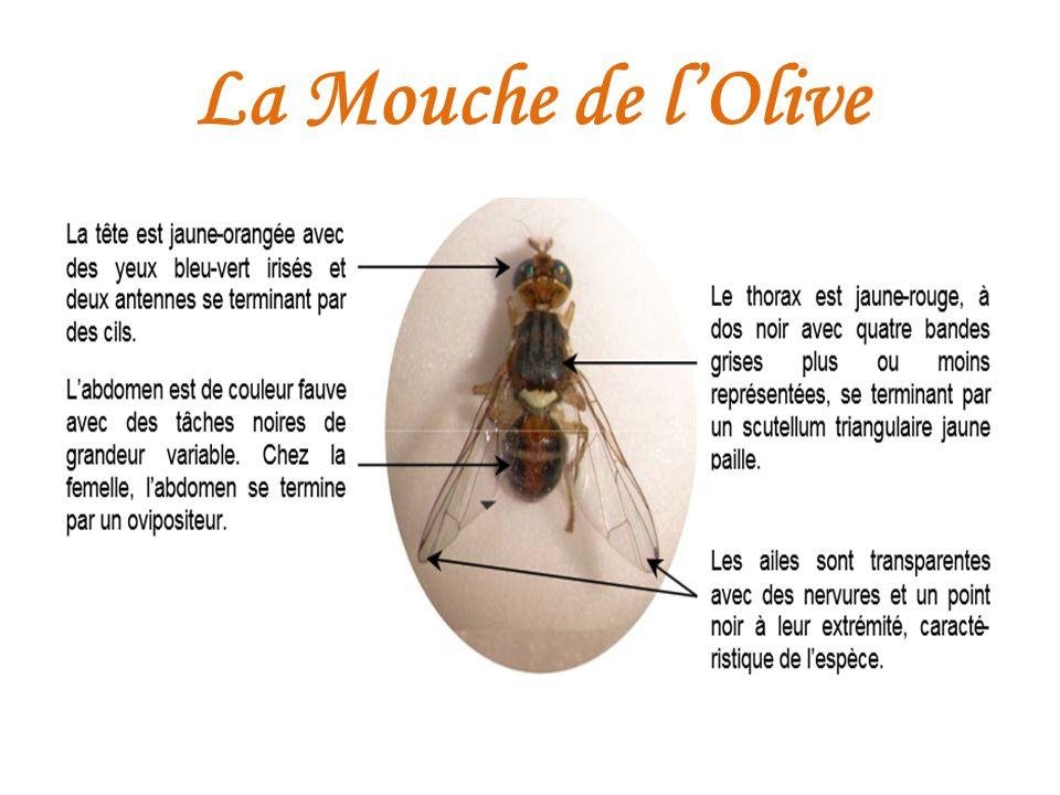 La double olfaction ppt t l charger - Insecticide mouche de l olive ...