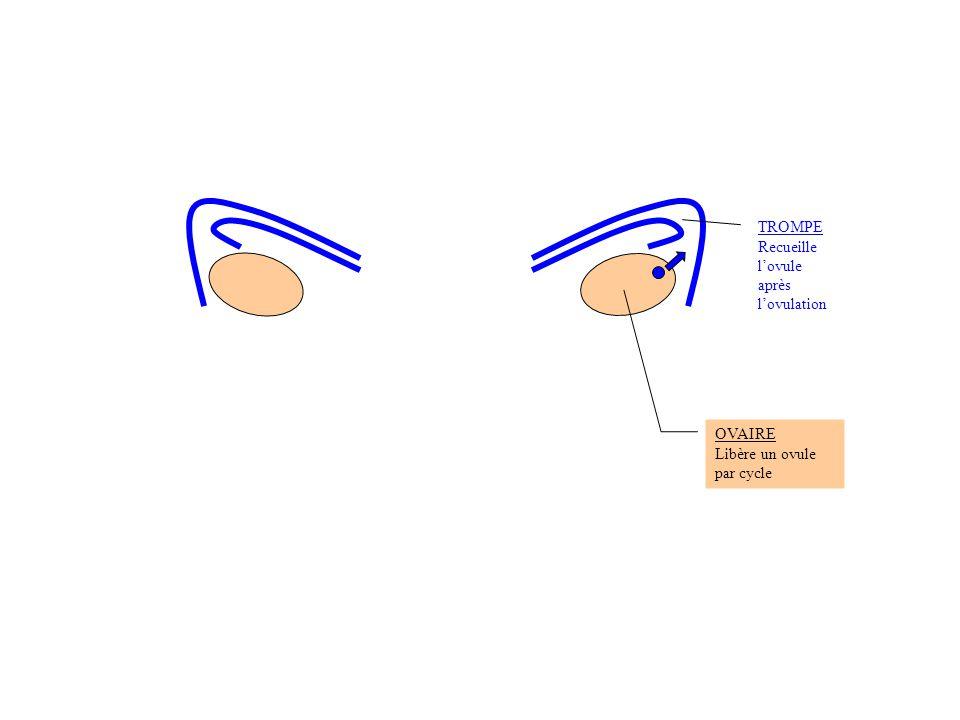 TROMPE Recueille l'ovule après l'ovulation OVAIRE Libère un ovule par cycle