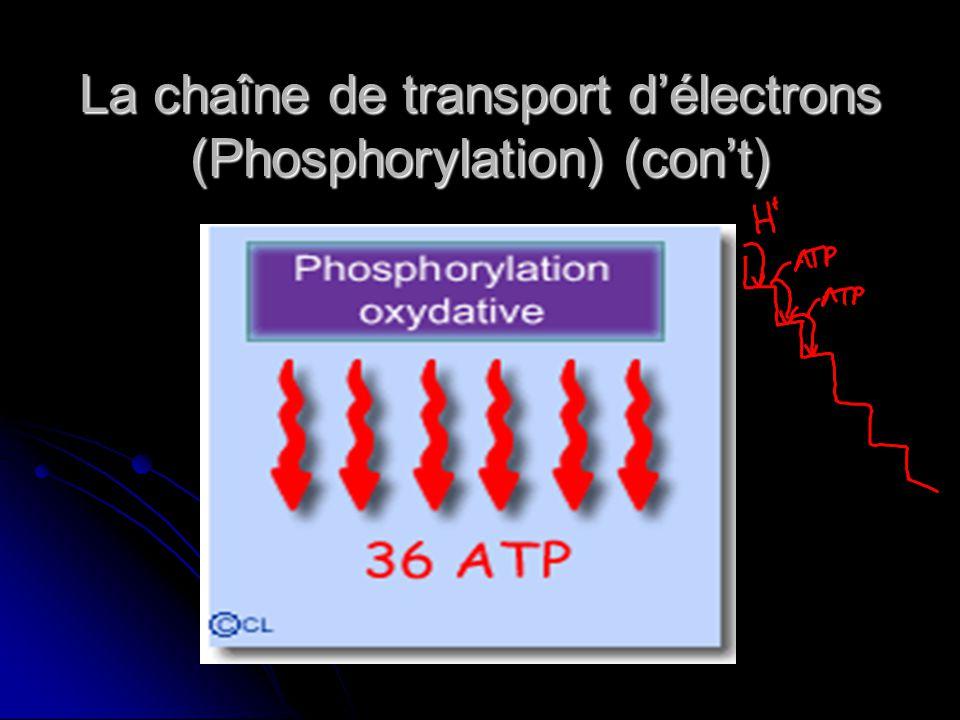 La chaîne de transport d'électrons (Phosphorylation) (con't)