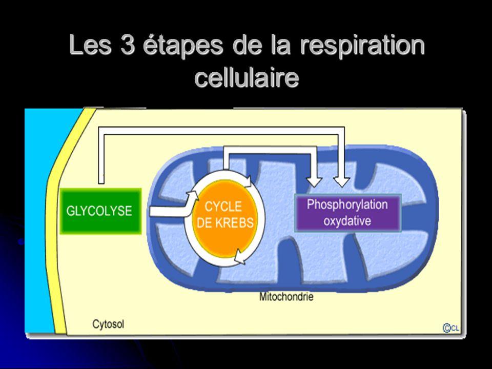 Les 3 étapes de la respiration cellulaire