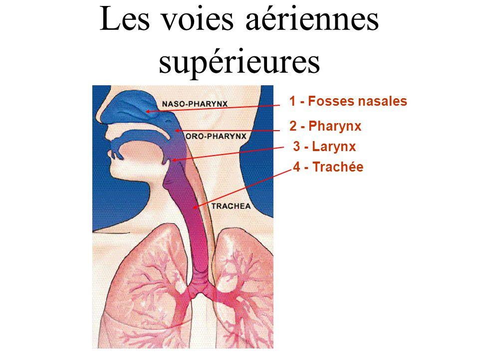 Anatomie et physiologie de la fonction respiratoire - ppt video ...