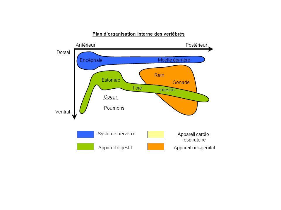 Plan d'organisation interne des vertébrés