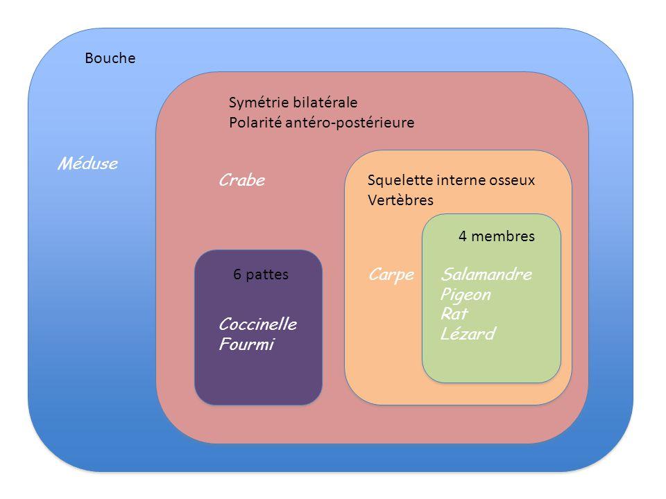 Bouche Symétrie bilatérale. Polarité antéro-postérieure. Méduse. Crabe. Squelette interne osseux.
