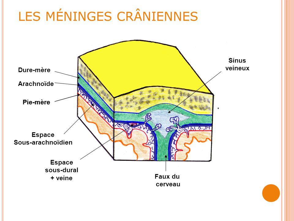 LES MÉNINGES CRÂNIENNES