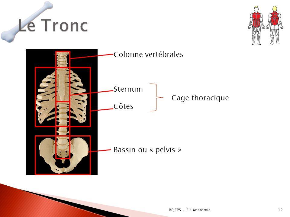 Le Tronc Colonne vertébrales Sternum Cage thoracique Côtes