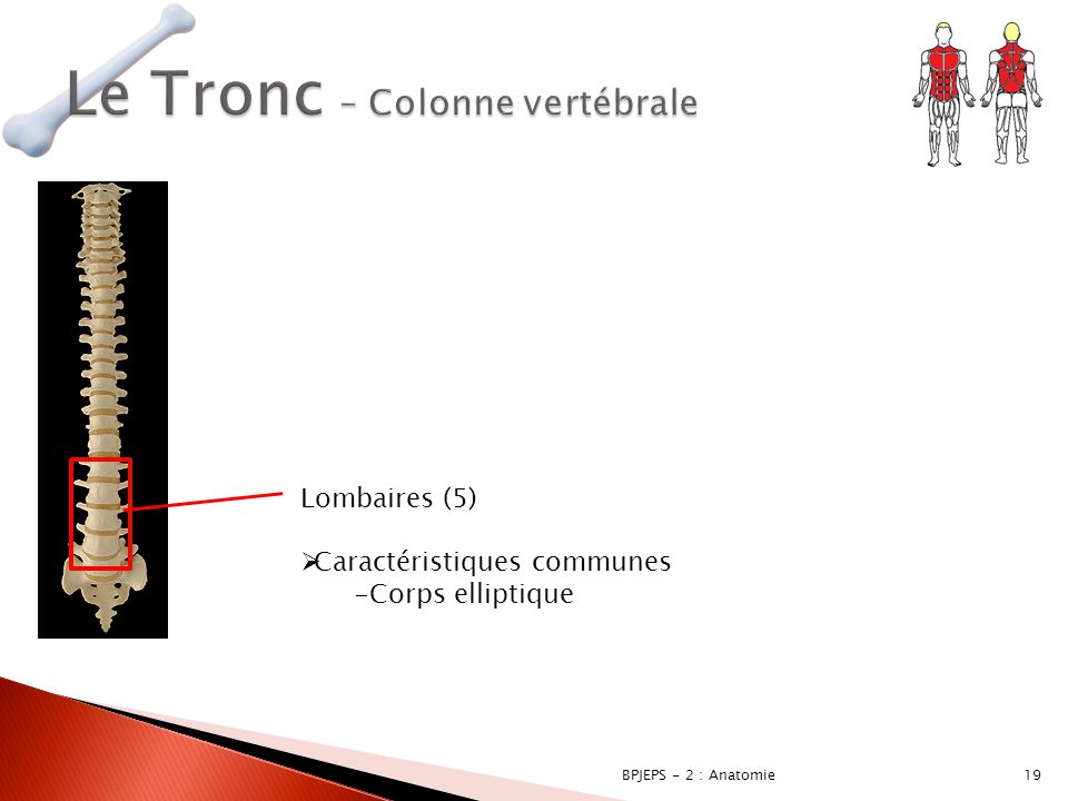 Le Tronc – Colonne vertébrale