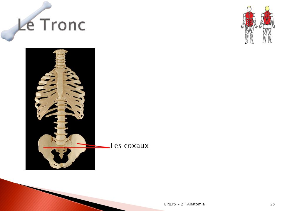 Le Tronc Les coxaux BPJEPS - 2 : Anatomie
