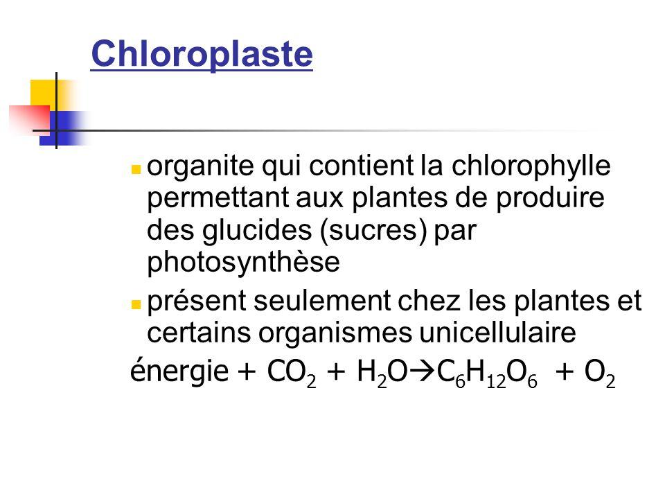 Chloroplaste organite qui contient la chlorophylle permettant aux plantes de produire des glucides (sucres) par photosynthèse.