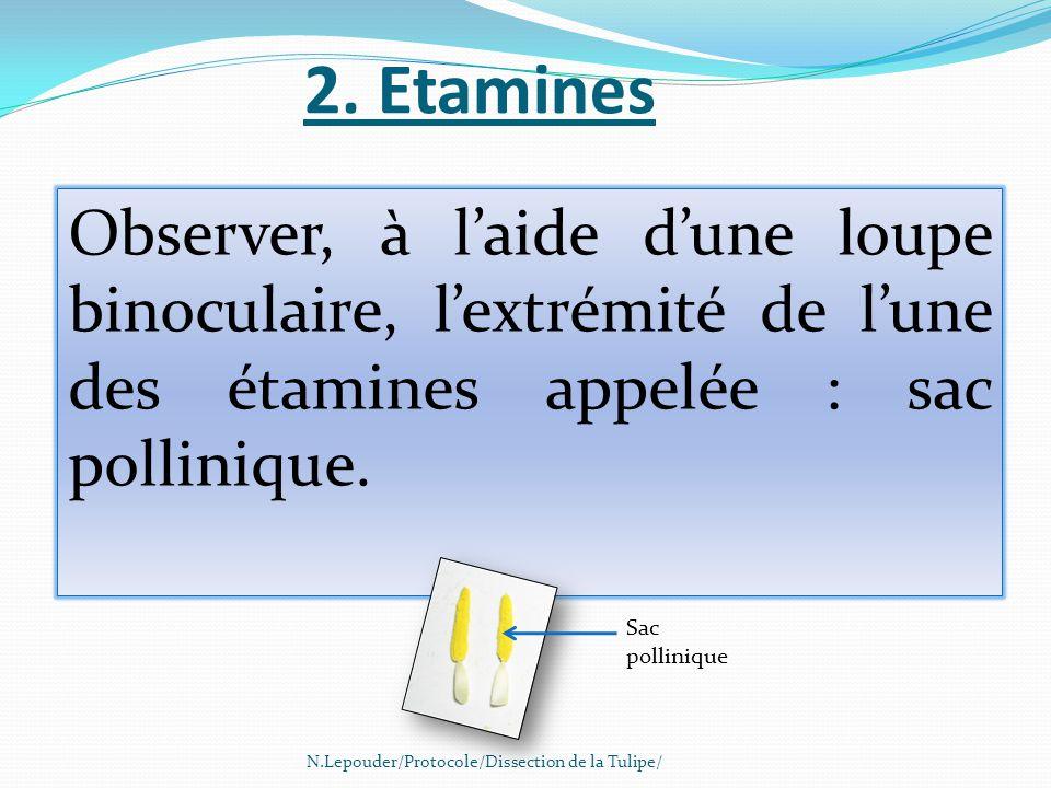 2. Etamines Observer, à l'aide d'une loupe binoculaire, l'extrémité de l'une des étamines appelée : sac pollinique.