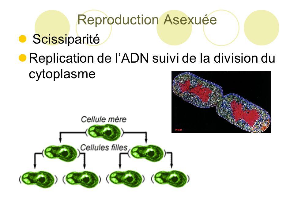 Reproduction Asexuée Scissiparité