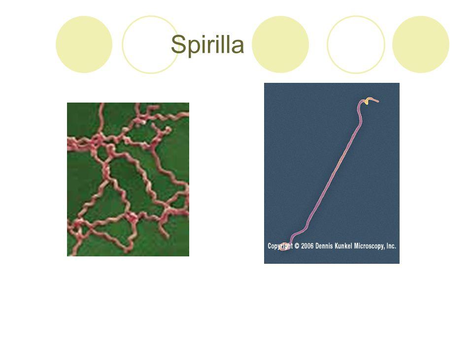 Spirilla