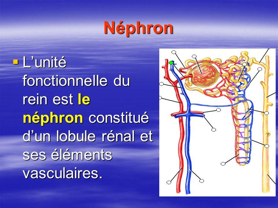 Néphron L'unité fonctionnelle du rein est le néphron constitué d'un lobule rénal et ses éléments vasculaires.