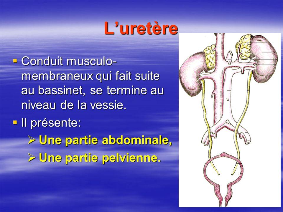 L'uretère Conduit musculo-membraneux qui fait suite au bassinet, se termine au niveau de la vessie.