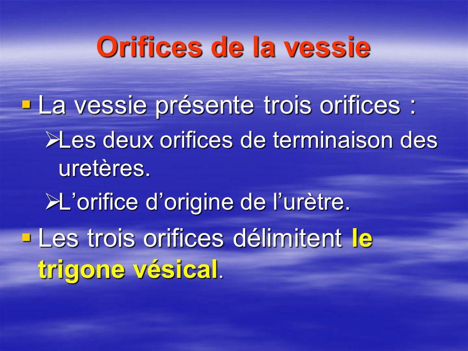 Orifices de la vessie La vessie présente trois orifices :