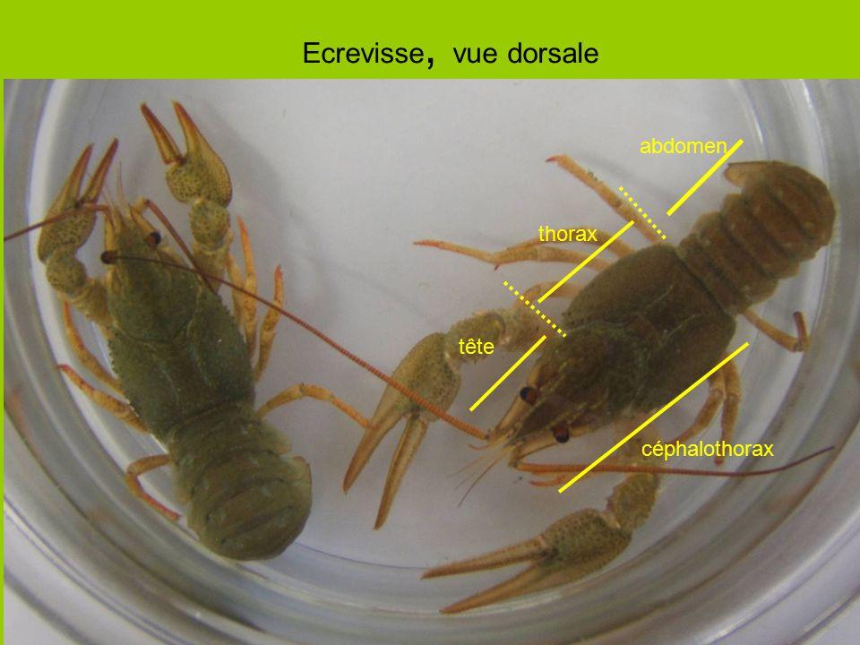 Ecrevisse, vue dorsale abdomen thorax tête céphalothorax