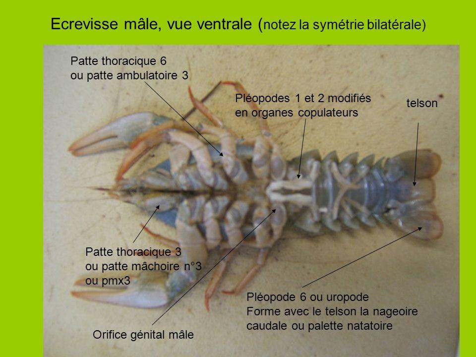Ecrevisse mâle, vue ventrale (notez la symétrie bilatérale)