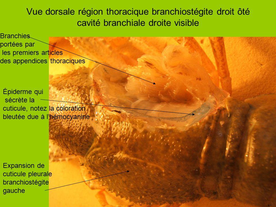 Vue dorsale région thoracique branchiostégite droit ôté cavité branchiale droite visible